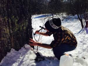 tapping sugar maple tree in vermont