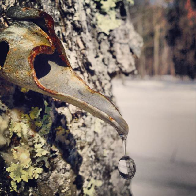 dripping maple sap from the tap