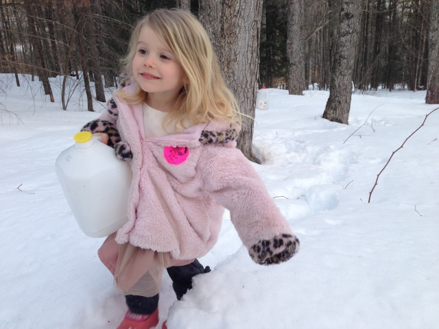 collecting sap milk jug