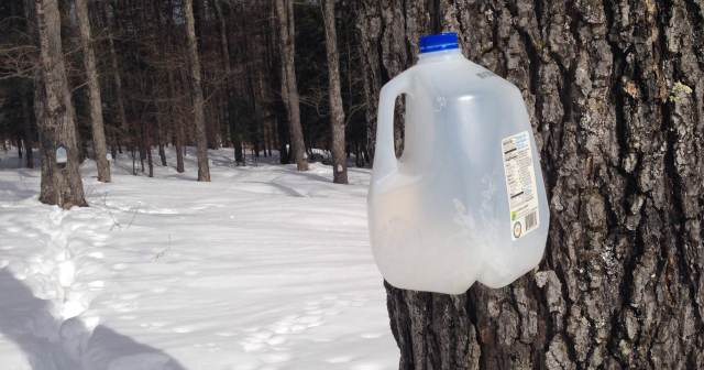 milk jug for collecting maple sap